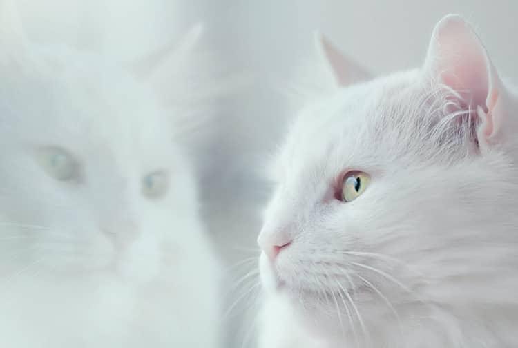 cat looking mirror