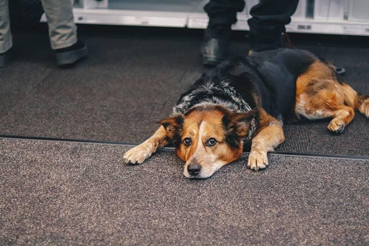 medium coat black brown dog bored