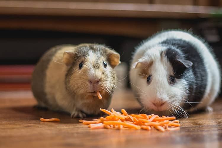 two guinea pigs eating carrots